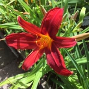Category Miscellaneous:Day Lilies - Hemerocallis