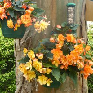 Category: Miscellaneous. Apricot cascading begonia