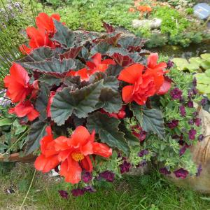 Category: Miscellaneous. Dark red tuberous begonia.